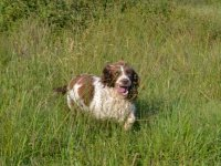 Gucci English Springer Spaniel chasse Sologne Hunters 2