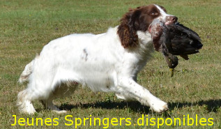 English Springer Spaniel, Sologne Hunters's